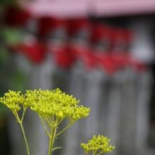 秋の七草寺_女郎花