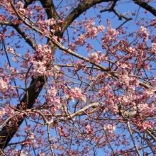 大手桜・桜開花情報