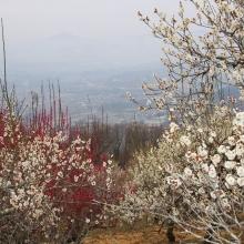 宝登山梅百花園