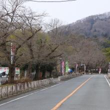 宝登山参道・桜開花情報