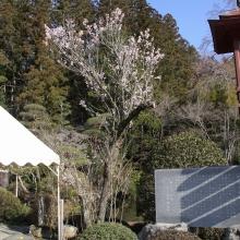 寶登山神社・桜開花情報