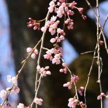 清雲寺のしだれ桜・桜開花情報