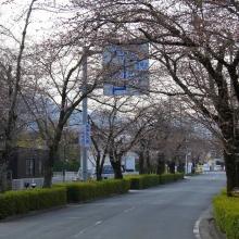 北桜通り・桜開花情報