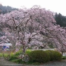 法善寺しだれ桜・桜開花情報