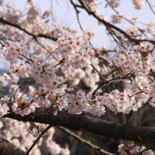 井戸の桜並木・桜開花情報