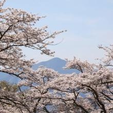 美の山公園・桜開花情報
