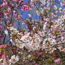 通り抜けの桜・桜開花情報