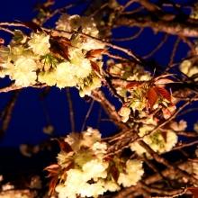 通り抜けの桜ライトアップ・桜開花情報