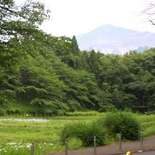 羊山公園菖蒲田