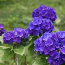 花の里アジサイ・アナベル