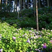 金沢浦山アジサイの画像