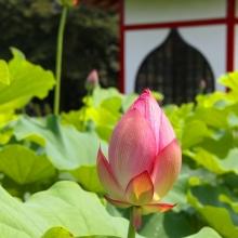宗福寺 花ハスの画像