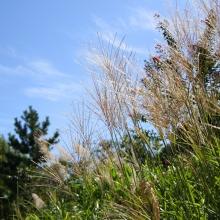秋の七草めぐり尾花の画像