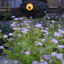 秋の七草めぐり藤袴の画像