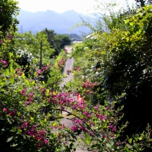 秋の七草めぐり萩の画像