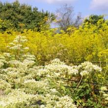 秋の七草めぐり女郎花の画像