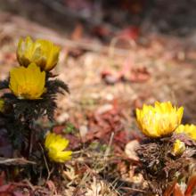 宝登山四季の丘フクジュソウの画像