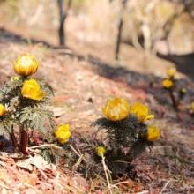 宝登山四季の丘福寿草の画像