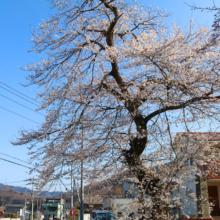 春日神社鳥居前の桜の画像