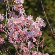 寶登山神社伊奈桜の画像