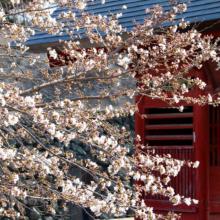 札所25番久昌寺桜の画像