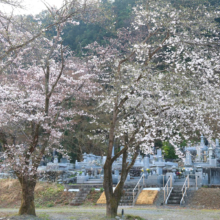岩田のソメイヨシノの画像