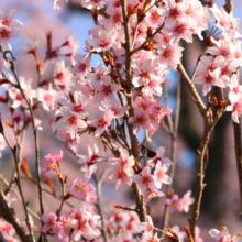 寶登山神社しだれ桜・伊奈桜の画像