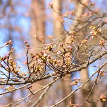 野土山の桜画像