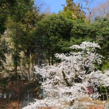 瑞岩寺 岩ツツジと桜の画像