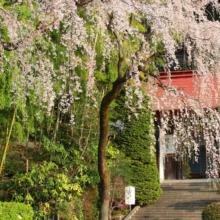 宝登山神社しだれ桜の画像