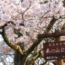 美の山桜の画像