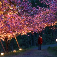 通り抜けの桜 ライトアップの画像