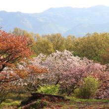 美の山公園花の森八重桜の画像