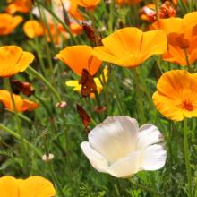 花の里ハナビシソウ園