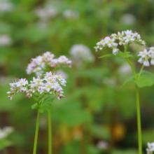 ちちぶ花見の里そばの花の画像