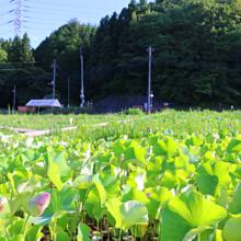 荒川日野花ハス園の画像