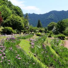 両神花菖蒲園の画像