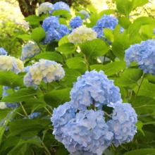 花の里アジサイの画像