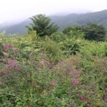 長瀞秋の七草萩の画像