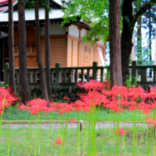 愛宕神社 ヒガンバナの画像
