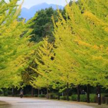 秩父ミューズパーク イチョウ並木の画像