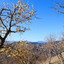 宝登山ロウバイ園の画像