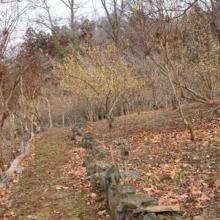 ムクゲ自然公園ロウバイの画像