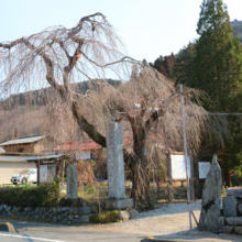 法善寺のしだれ桜の画像