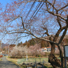 大手桜の画像