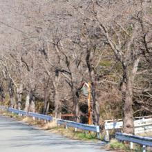 井戸桜の画像