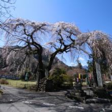 札所29番長泉院しだれ桜の画像