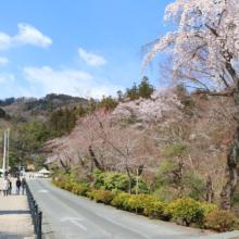 寶登山神社のしだれ桜の画像
