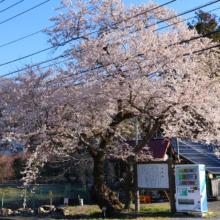 大手の桜画像