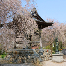 道光寺のしだれ桜の画像